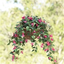 Fuchsia Flower Basket